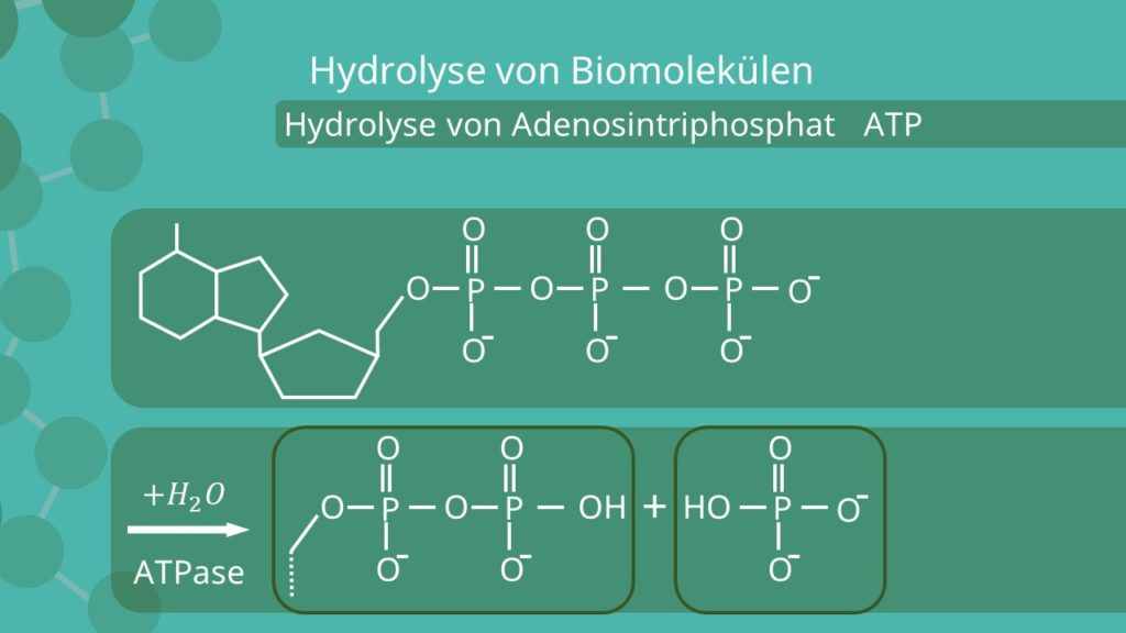 ATP, Hydrolyse, Biomolekül. ATPase