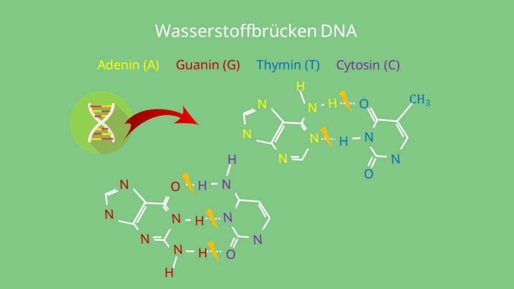 Wasserstoffbrücken DNA Wasserstoffbrückenbindungen