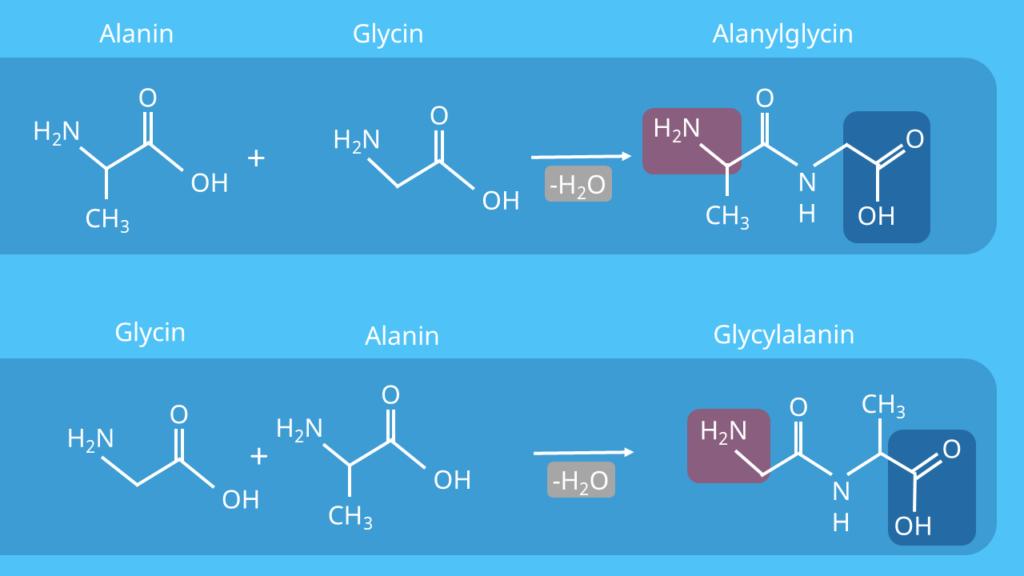 Dipeptide - Alanylglycin und Glycylalanin, Peptide