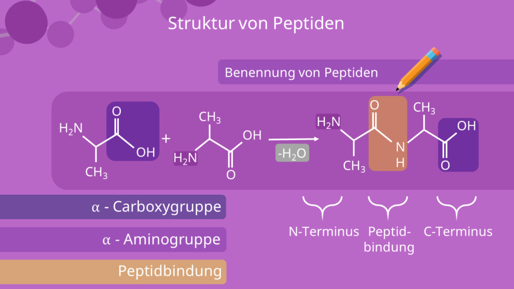 Peptide - Struktur, Benennung, Carboxygruppe, Aminogruppe, Peptidbindung