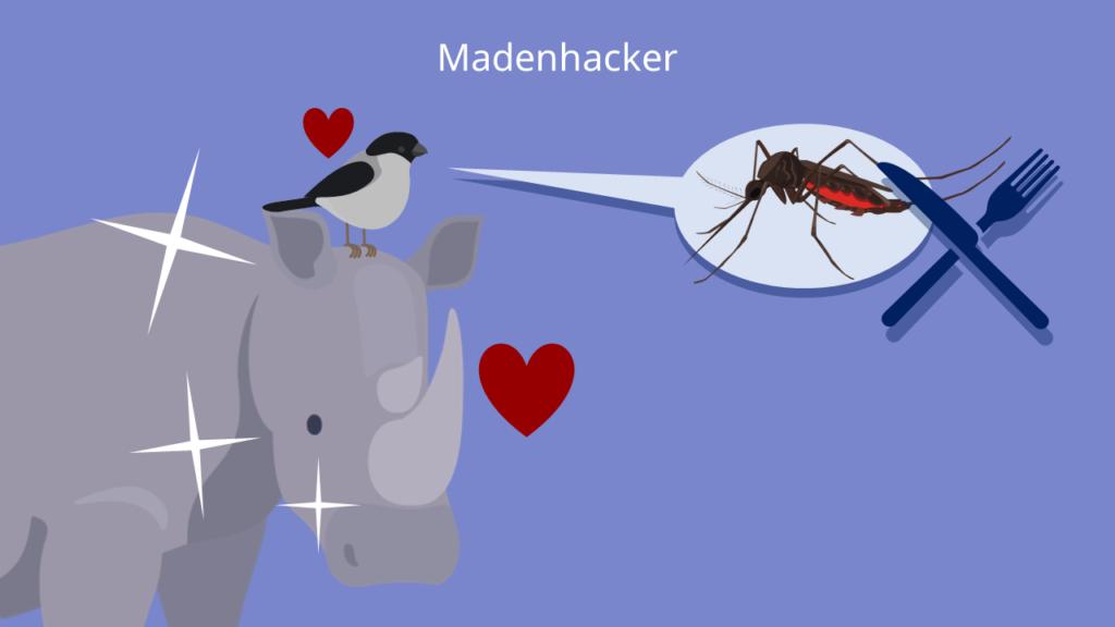 Madenhacker, Symbiose, Allianz, Protokooperation