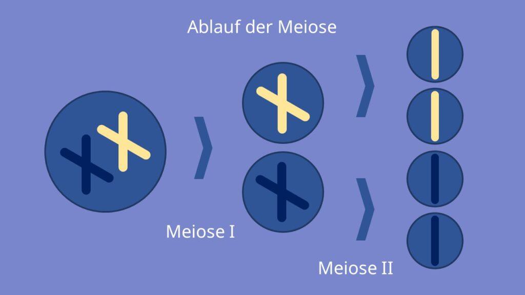 Ablauf der Meiose, Prophase, Metaphase, Anaphase, Telophase