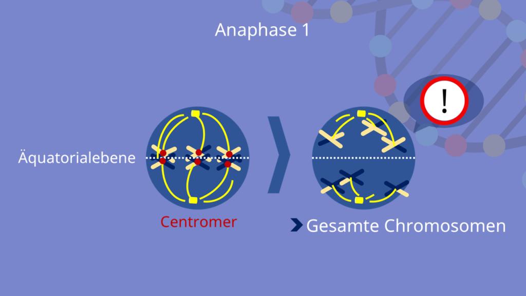 Meiose, Anaphase 1, Anaphase, Chromosomen