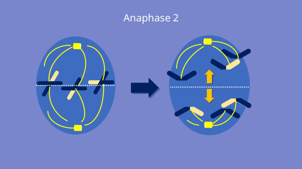 Meiose, Anaphase 2, Anaphase, Chromatiden