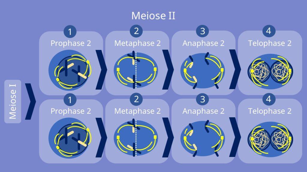 Meiose II, Prophase, Metaphase, Anaphase, Telophase