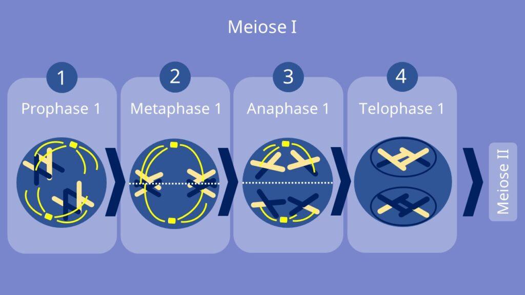 Meiose I, Prophase, Metaphase, Anaphase, Telophase