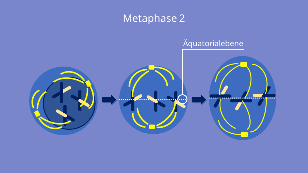 Meiose, Metaphase 2, Metaphase, Äquatorialebene