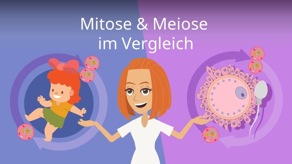 Zum Video: Mitose und Meiose im Vergleich