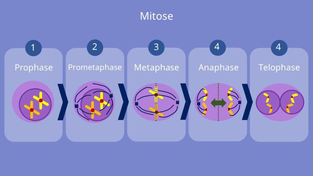 Mitose, Prophase, Prometaphase, Metaphase, Anaphase, Telophase