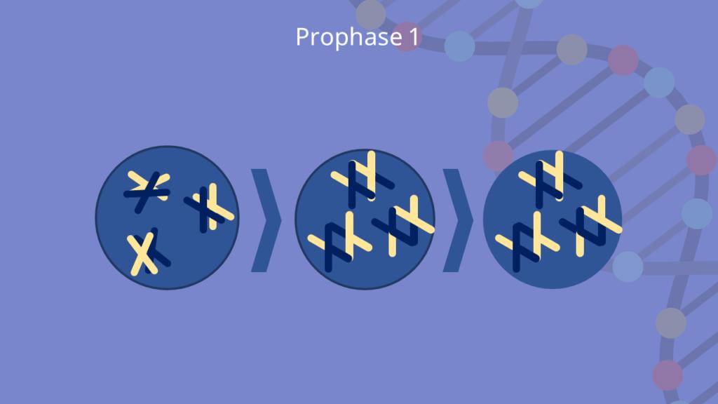 Meiose, Prophase 1, Prophase, Zygotän, Leptotän, Pachytän, Diplotän, Diakinese, Crossing over