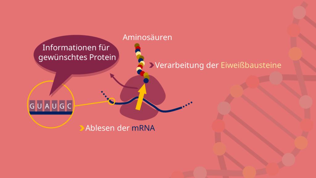 Translation, Ribosom, Ribosomen, mRNA
