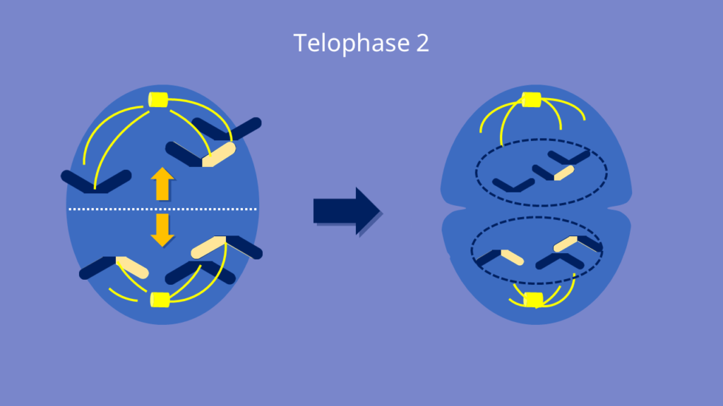 Meiose, Telophase 2, Telophase