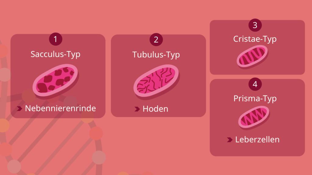 Mitochondrien, Sacculus, Tubulus, Cristae, Prisma, Typen