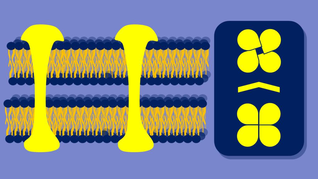 Gap Junctions, Connexine, Zellmembran