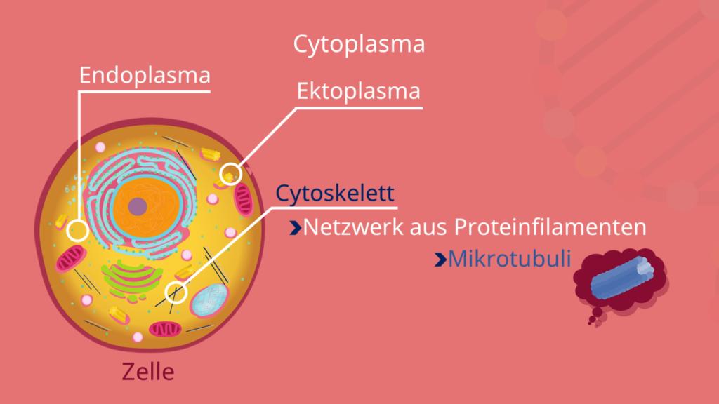 Cytoplasma, Cytoskelett, Endoplasma, Ektoplasma, Mikrotubuli, Zelle