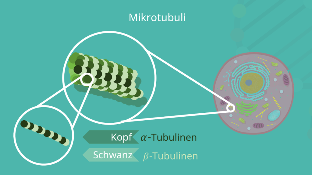 Mikrotubuli,, Tubulin, Tubulinen, Protofilamente
