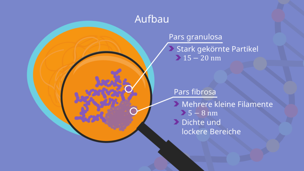 Nucleolus Aufbau, Pars fibrosa, Pars granulosa