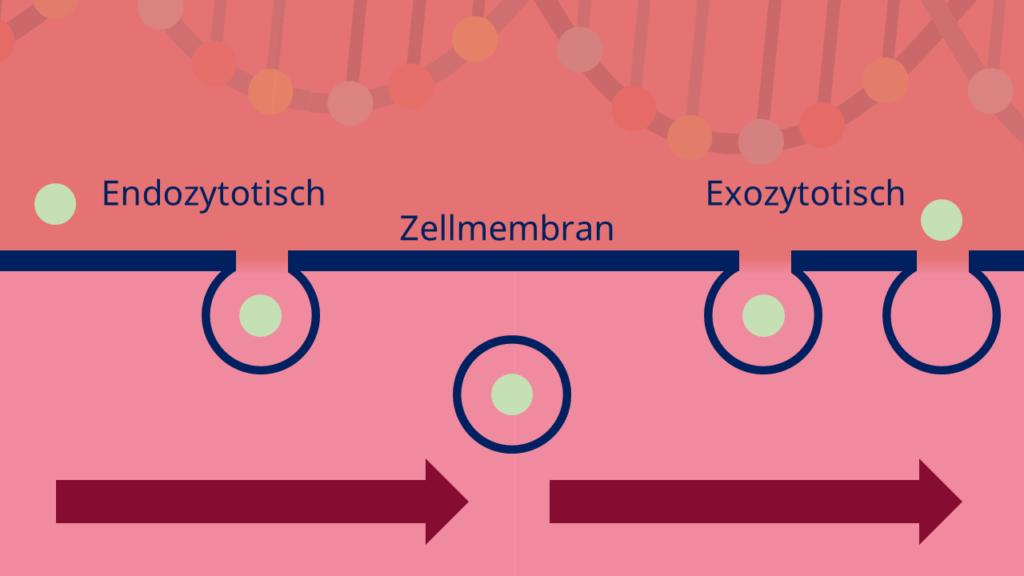 Vesikel, Funktion, endozytose, exozytose