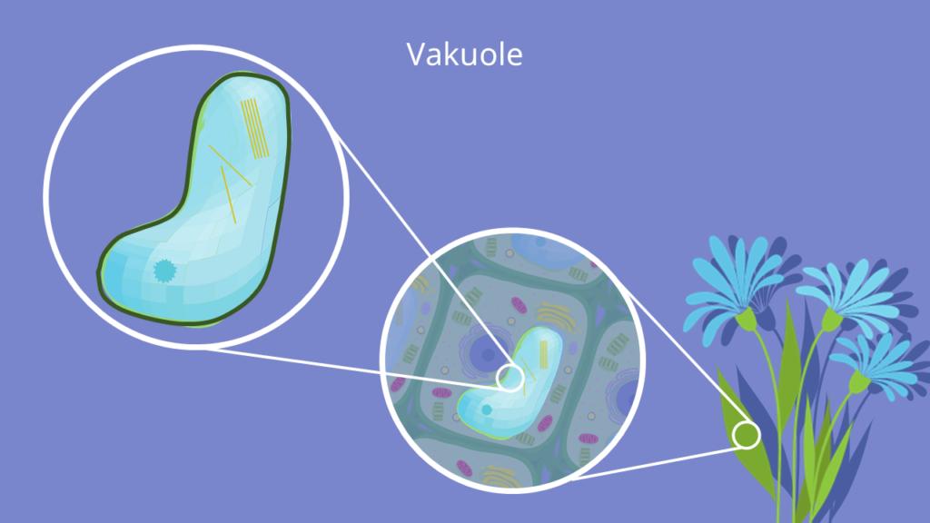 Vakuole, Membran, Pflanzenzelle, Turgor, pflanzliche Zelle