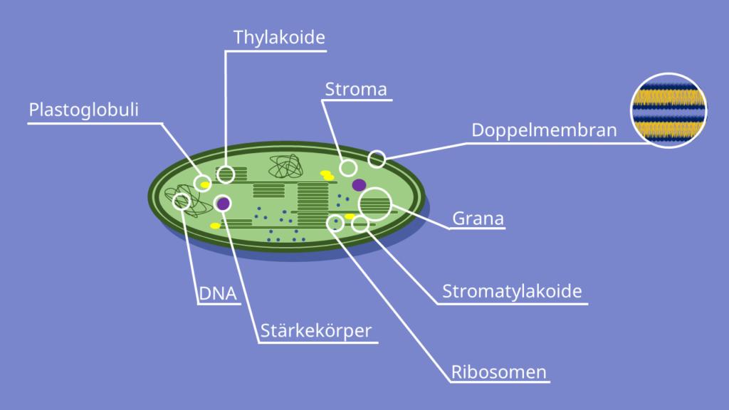 Chloroplast, Chloroplasten, Grana, Stroma, Aufbau, Chloroplast Bau, Chloroplast Modell, Chloroplast Querschnitt, Bau Chloroplast, Chloroplast Beschriftung