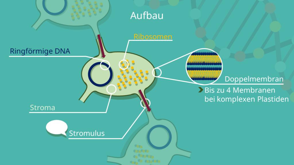Plastiden, Plastid, Stromulus, Stromuli