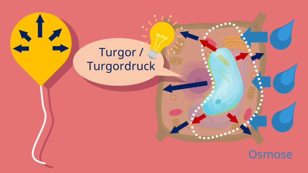 Turgordruck, Turgor, Zellinnendruck, Vakuole