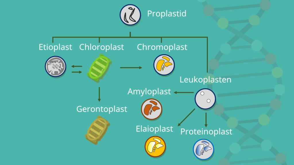 Plastiden, Plastid, Plastidentypen, Leukoplasten, Chromoplasten, Proplastid, Proteinoplast, Elaioplast, Amyloplast, Chloroplast