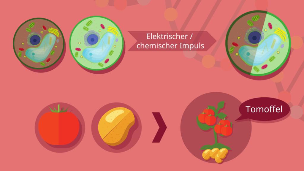 Protoplast, Protoplasten, Protoplastenfusion, Zellfusion, Tomoffel