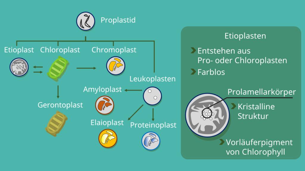 Etioplast, Etioplasten, Plastiden, Plastid, Prolamellarkörper