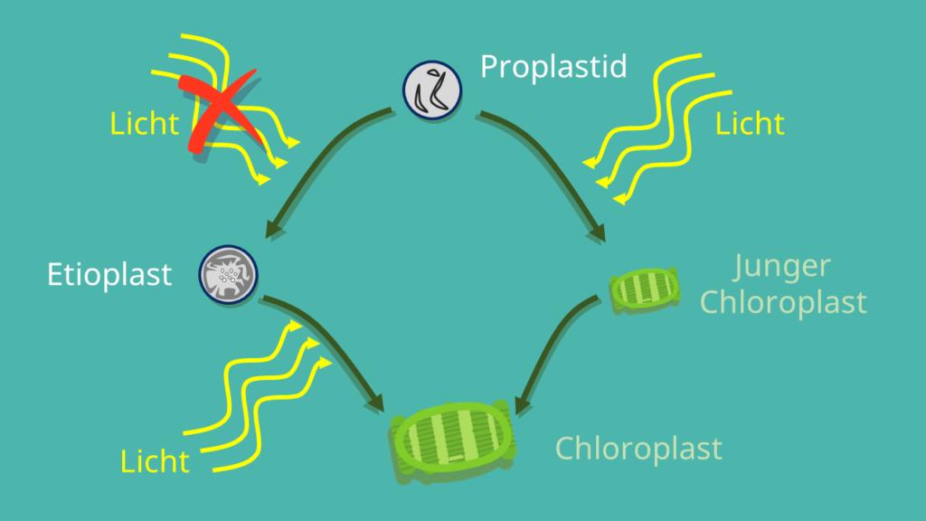 Proplastid, Proplastiden, Etioplast, junger Chloroplast, Chloroplast, Chlroroplasten, Lichteinwirkung