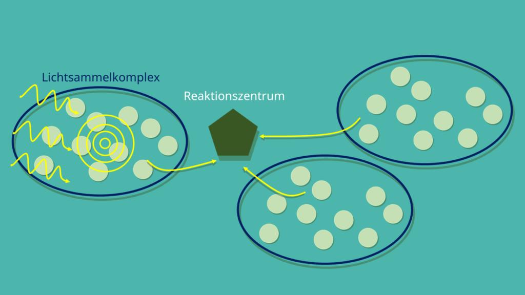 Lichtsammelkomplex, Photosynthese, Chlorophyll, Reaktionszentrum