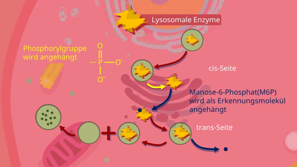 Lysosom, primäre lysosomen, Entstehung