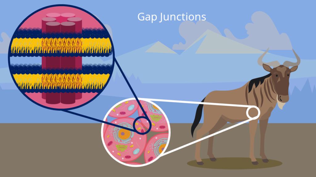 Gap Junctions, Tierzelle, Gap Junction, Zellverbindung