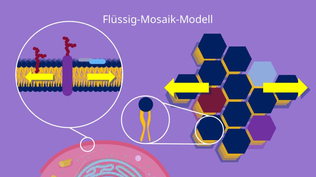Flüssig-Mosaik-Modell, Biomembran, Tierzelle
