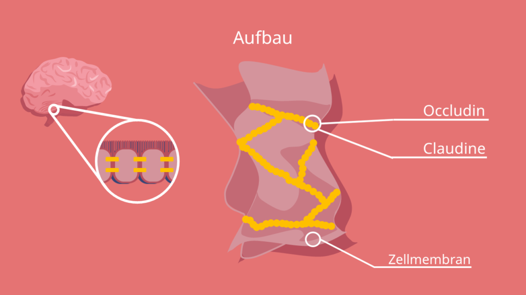 Zell-Zellkontakte, Plasmamembran, Epithel, gap junctions, Desmosomen, Mikrovilli, Claudin, Occludin