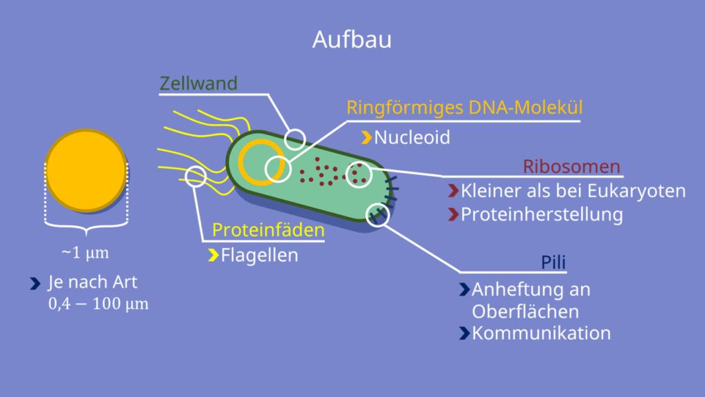 Archaeen, Bakterien, Eukaryoten, Zellkern, Nucleoid, Kapsel, Zellwand, Flagellum, Ribosom, Pokaryoten