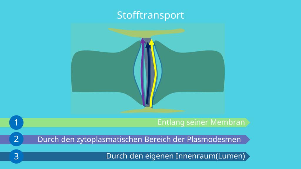 Plasmodesmen Funktion, Stofftransport, Pathogene, Desmotubulus