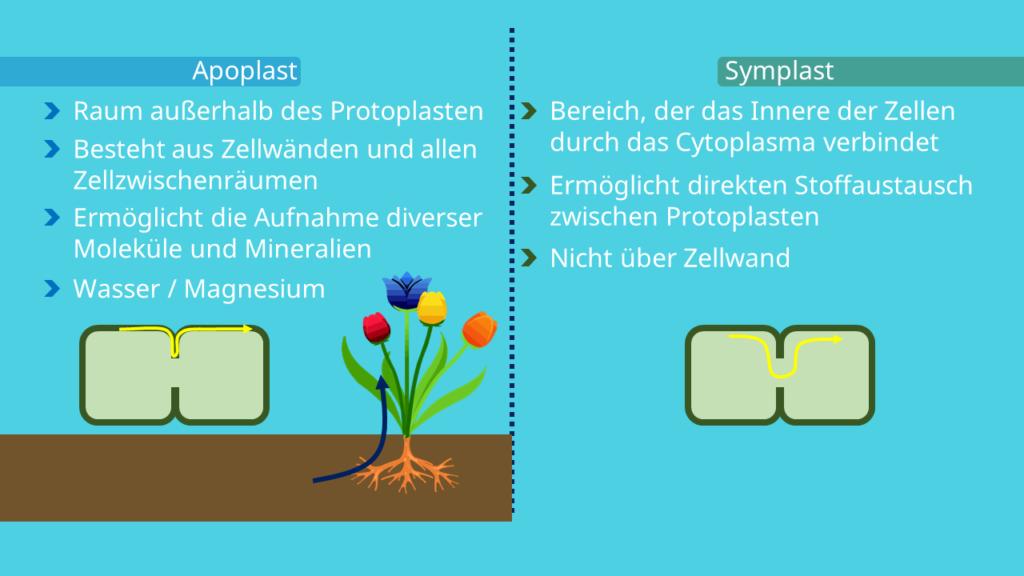 Apoplast, Symplast, Plasmodesmen, Zellwand, Cytoplasma