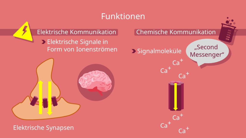 elektrische Synapse, Gap junctions, tight junctions, Nervenzelle, Aktionspotential, Connexin, Connexon