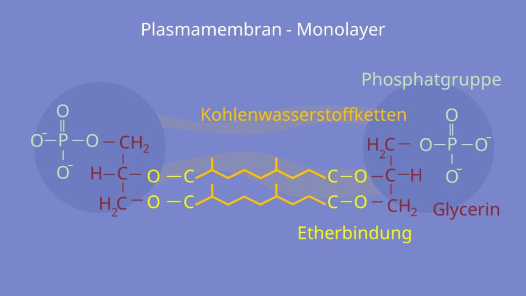 Archaeen, Bakterien, Eukaryoten, Pokaryoten, Phospholipide, Ether, Ester, Doppelschicht, Monolayer, amphiphil