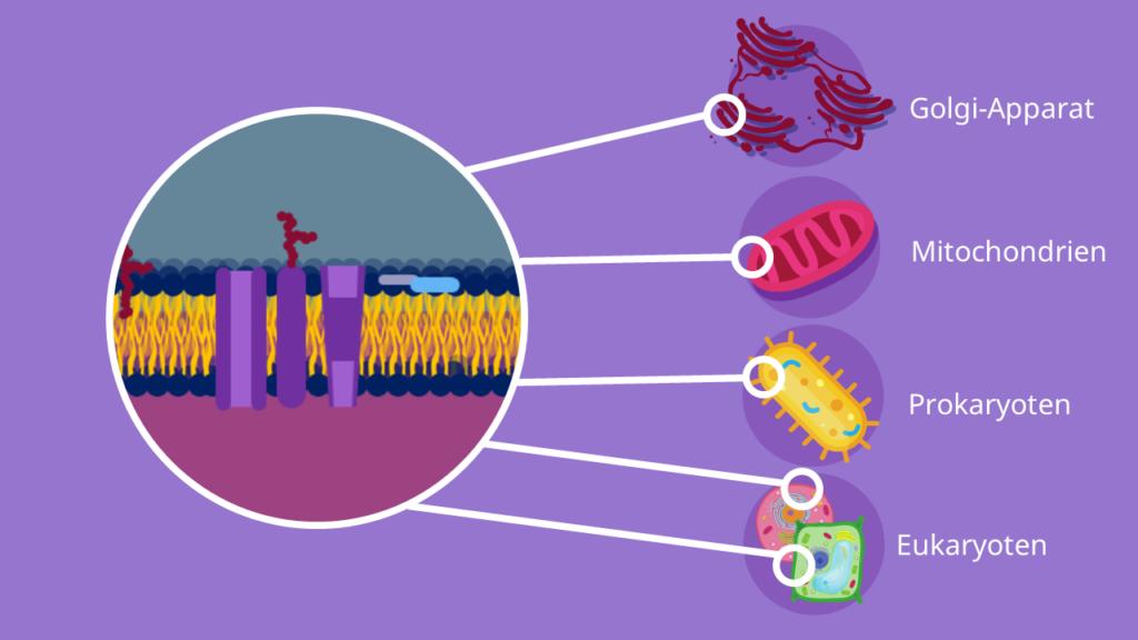 Biomembran, Biomembranen, Membranproteine, Eukaryoten, Prokaryoten, Golgi-Apparat, Mitochondrien
