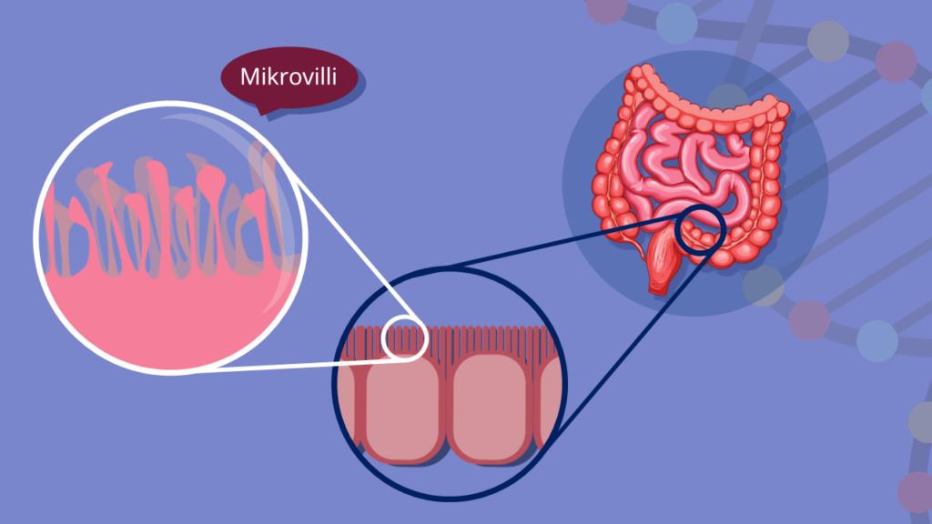 Biomembran, Oberflächenvergrößerung, Darm, Darmzotten