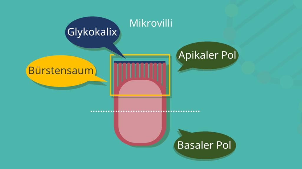 Epithelzelle, Epithel, Mikrovilli, apikal, basal