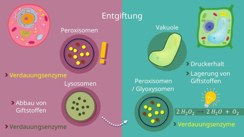 Tierzelle, Pflanzenzelle, Peroxisomen, Vakuole, Glyoxysomen, Lysosomen, tierische Zelle, pflanzliche Zelle