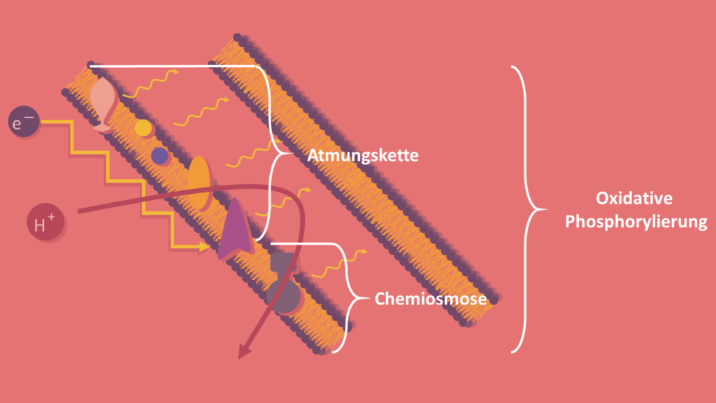 Atmungskette, Chemiosmose, Oxidative Phosphorylierung