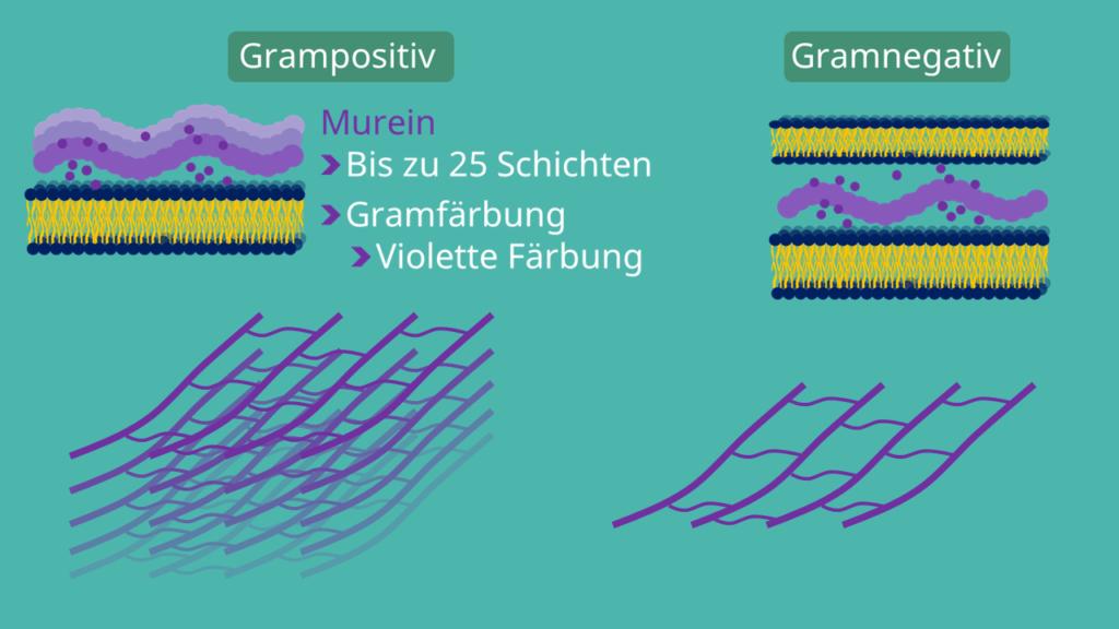 Zellwand, Plasmamemban, Prokaryoten, Bakterien, Murein, Peptidoglycan, Protein, Gramfärbung, grampositiv, gramnegativ