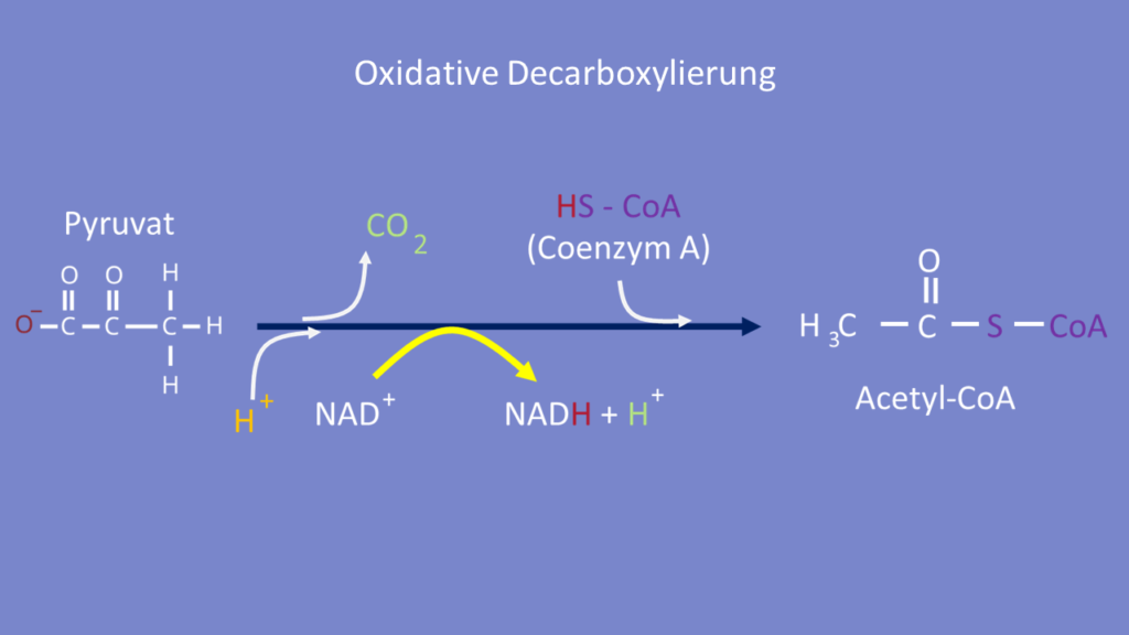 Zellatmung, Citratzyklus, Glykolyse, Oxidative Decarboxylierung, ATP, Adenosintriphosphat