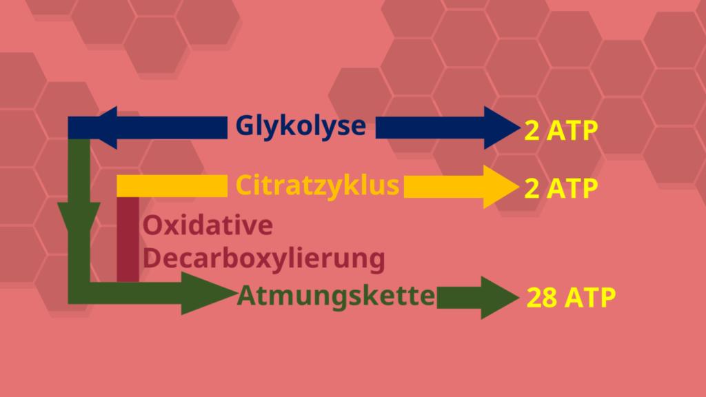 Citratzyklus, Oxidative Decarboxylierung, Glykolyse, Atmungskette, Zellatmung, ATP, Adenosintriphosphat