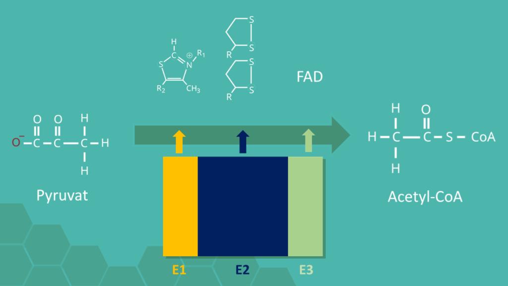 Oxidative Decarboxylierung, Zellatmung, Glykolyse, Atmungskette, Pyruvatdehydrogenase-Komplex, Pyruvat, NADH, ATP, Acetyl-CoA