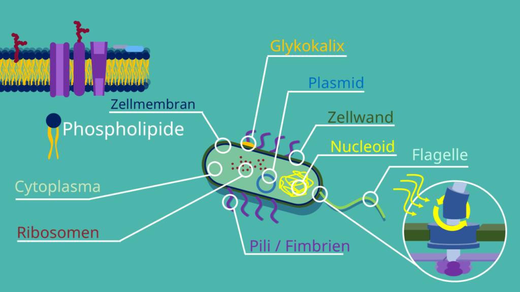 Pilli, Plasmid, Plasmamemban, Cytoplasma, Ribosomen, Flagellum, Zellwand, Prokaryoten, Bakterien